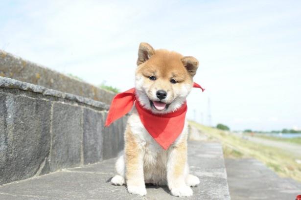【写真を見る】キュートなマメシバ・一郎はコチラ