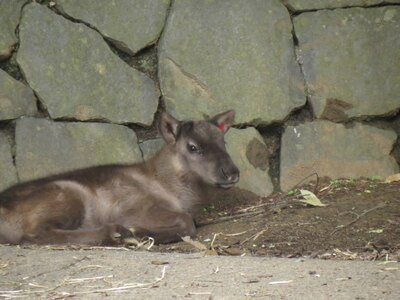【写真を見る】目がクリクリで毛がふわふわなトナカイの赤ちゃん