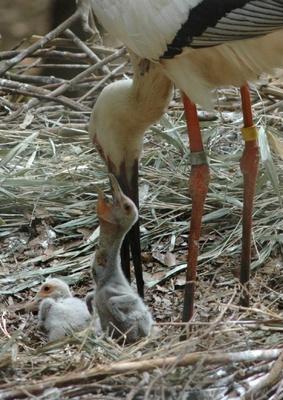 多摩動物園で27年連続で繁殖に成功しているニホンコウノトリの親子