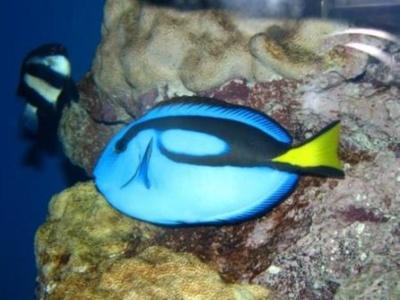 日本代表として戦う青色の魚チーム・ナンヨウハギ