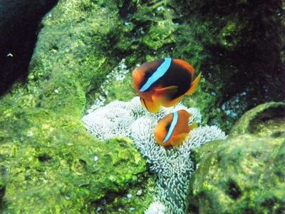 コートジボアール代表として戦うオレンジ色の魚チーム・ハマクマノミ