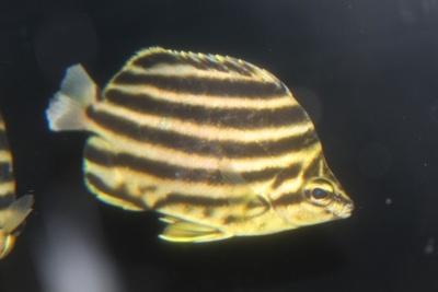 コロンビア代表として戦う黄色の魚チーム・カゴカキダイ