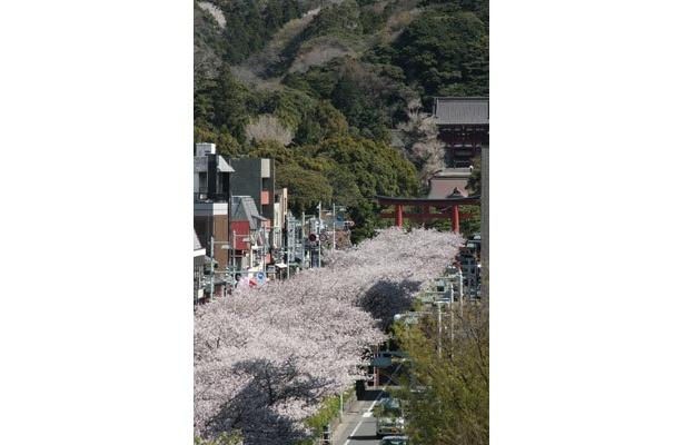 鎌倉の名所・段葛のサクラを見ながら春の味覚を味わうのも楽しい