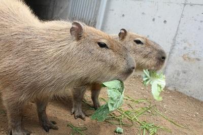 2頭仲良く食事するカピバラの横顔