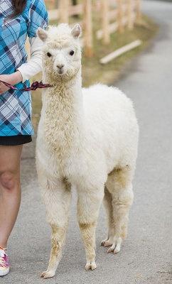 シュガーちゃん(メス・約6か月)。頭や背中を撫でてもらうのが好き。純白の毛並みは希少なんだとか!