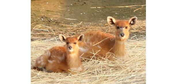 まるでバンビ!お母さんに寄り添って座るシタツンガの赤ちゃん