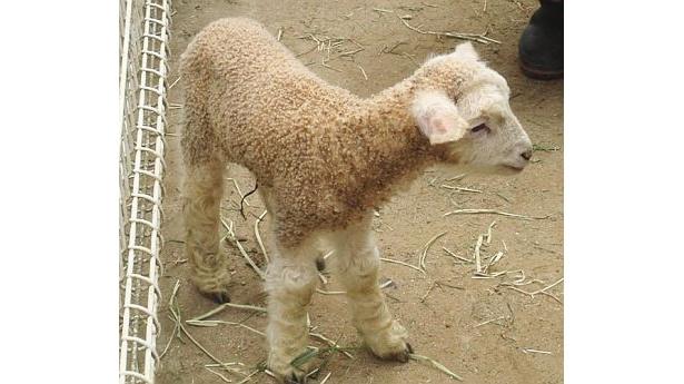 白くて小さいヒツジの赤ちゃんは、4/4に生まれたばかりだ