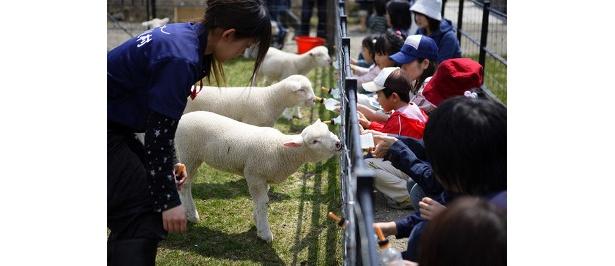 子羊ミルクやり体験