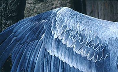 羽根は美しい青色