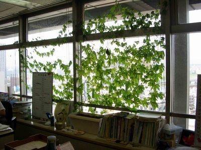 農政課のゴーヤカーテン。緑があるだけで癒されます