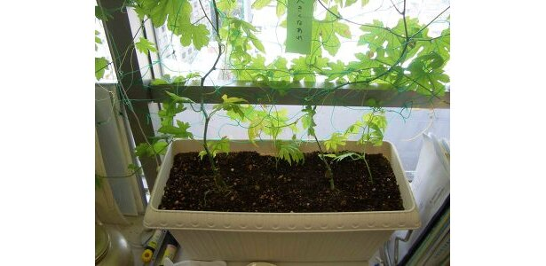 こんな小さな鉢でも育っちゃう。肥料なし! 光だけなので安心