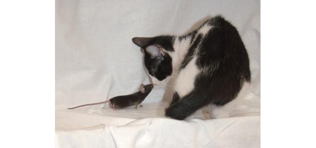 これがネコを怖がらないネズミだ!【提供:小早川高、令子(大阪バイオサイエンス研究所)】