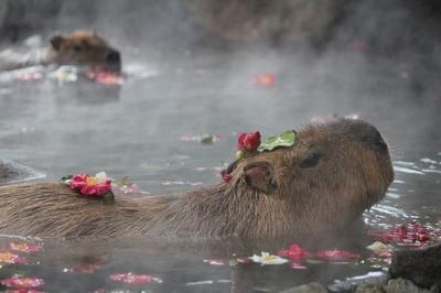 【写真を見る】花びらを頭に載せて入浴するカピバラが愛くるしい。園内でカピバラが初めて温泉に浸かったのは、1982年の冬のことだそう