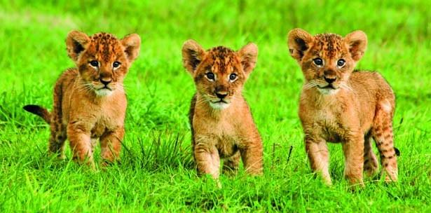 子猫ように小さいライオンの赤ちゃんたち
