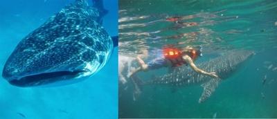 ジンベイザメの養殖に世界で唯一成功しているオスロフにて、生まれて初めてジンベイザメと泳いた。やさしい瞳が印象的だった