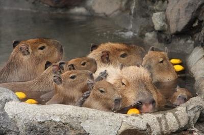 """今年リニューアルした""""カピバラの露天風呂""""では、「元祖カピバラの露天風呂イベント」が11月22日(土)から開催。9頭のカピバラ大家族がお出迎え!"""