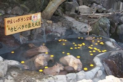 """【写真を見る】リニューアルされた""""カピバラの露天風呂""""では、従来よりもさらに近くカピバラファミリーと触れ合うことができる"""
