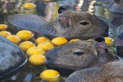 「カピバラの変わり湯」イベントでは、ダイダイの他にもミカンやリンゴなどを温泉に投入