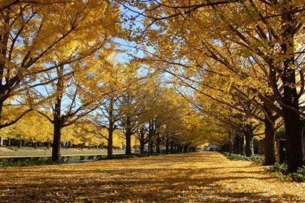 東京ドーム約40個分の広大な公園、国営昭和記念公園(東京都昭島市)は8位にランクイン