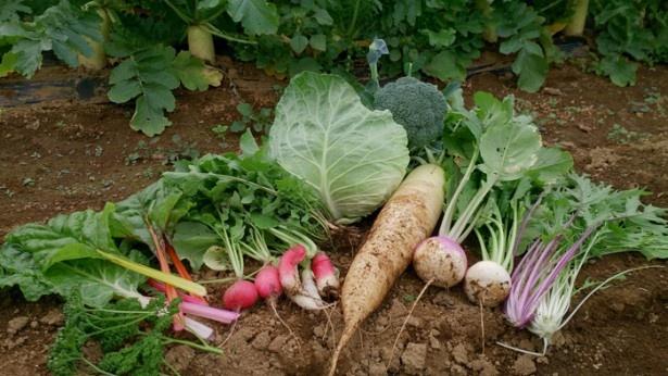 「横山農園」含む2つの農園は、横浜産の野菜を販売する