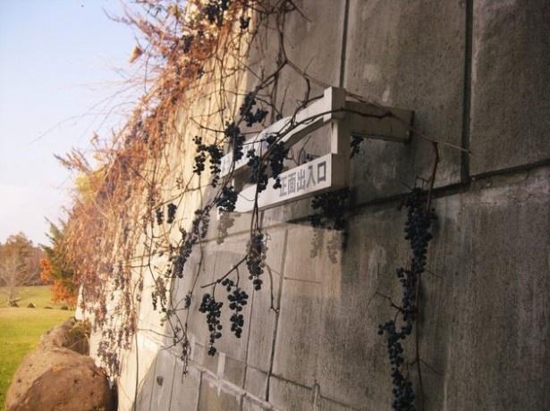 ワイン城の入口看板にはブドウがなっている