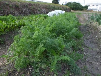 無農薬農法の畑で育つニンジン