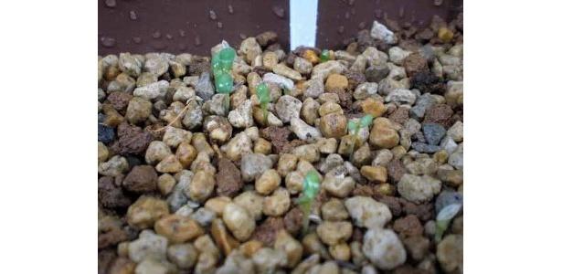レタスの芽が出てるっ