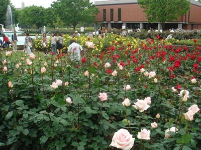 春のバラは秋にくらべて花が大きく種類も豊富だ