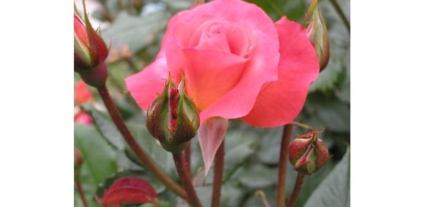 プリンセス・ミチコ。1968年に石橋文化センターを訪れた際に、この苗を植えてお迎えし、大変喜ばれたという逸話がある