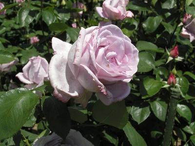 ブルームーン。モダンローズの中では育てやすく、よく咲き、香りが強いのが特徴