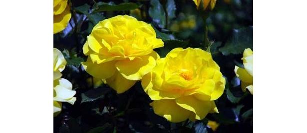 フリージア。鮮やかな濃い黄色の花をつけ、強く甘い香りを漂わせる人気の品種