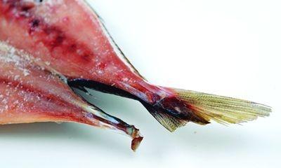干物は尾ビレが欠けていたり身に小さな穴があるだけで、味は問題なし!