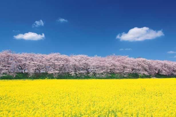 青空に映えるパステルカラーの二重奏!「死ぬまでに行きたい!世界の絶景」の著者、詩歩さんいわく「写真に撮ってほしい絶景。桜の淡いピンクを写すには朝がベスト」