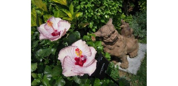 2月でも平均気温は16.1℃と温かい沖縄。ハイビスカスは1年中咲く花