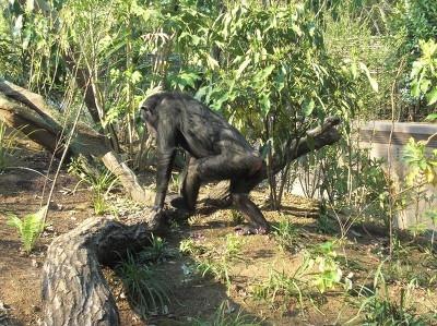 広いジャングルを散歩中のヨシズ(メス・18歳)