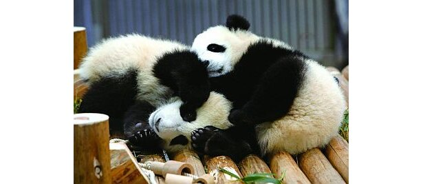 じゃれあう姿がなんとも愛らしい。アドベンチャーワールドの人気者・双子パンダの赤ちゃん