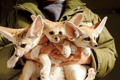 ぴんとたった耳と大きな目がかわいい〜!フェネック三兄弟(井の頭自然文化園)