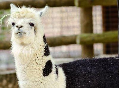 CMで人気に火がついたアルパカは、笑っているような口元とのんびりした動きが魅力(東山動植物園)