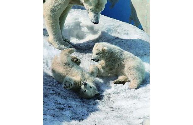 国内では珍しいホッキョクグマの双子の赤ちゃんが見られるのはココだけ!(円山動物園)