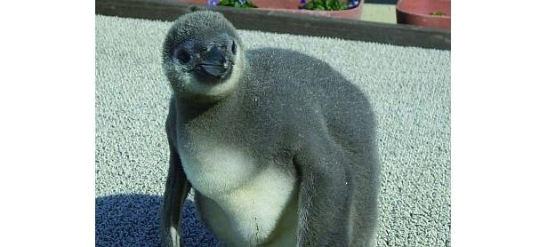 柔らかそうな毛がかわいい〜!フンボルトペンギンの赤ちゃん(南知多ビーチランド)
