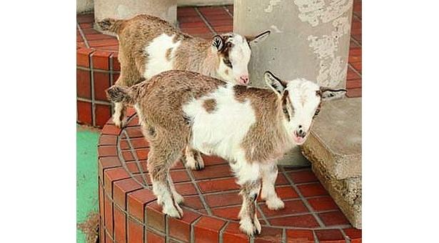 上野動物園では、トカラヤギの赤ちゃんが誕生!