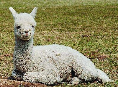 元気いっぱいにはしゃぐアルパカの赤ちゃん・ハクは今年生まれたニューフェイス(えこりん村)