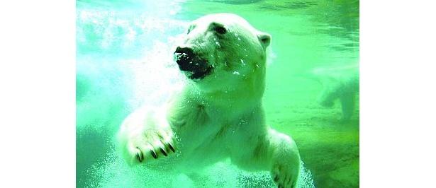 迫力満点のプールへのダイブが人気!ホッキョクグマのキャンディーちゃん(豊橋総合動植物園)