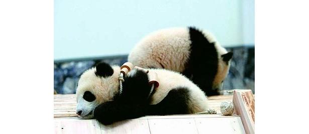 くったりと横になるパンダ。ふわふわもこもこでファンが多いのも納得(アドベンチャーワールド)