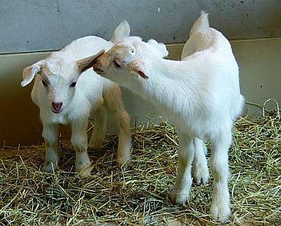 毛並みがキレイ!ヤギの赤ちゃんの戯れている姿が見られる(旭山動物園)