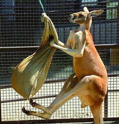 アカカンガルーのハッチくんは、毎日サンドバッグ相手に筋トレを行う猛者(須坂市動物園)