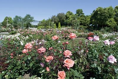 ナガシマスパーランドからバスで5分ほどの「なばなの里」では、色鮮やかなバラが咲き誇る