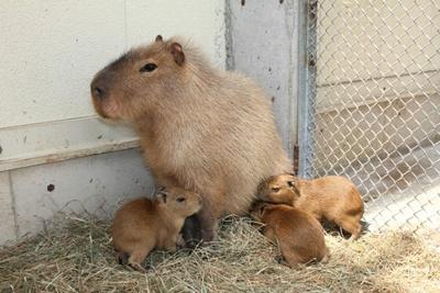 母親カピバラの「キントキ」と三つ子の赤ちゃん