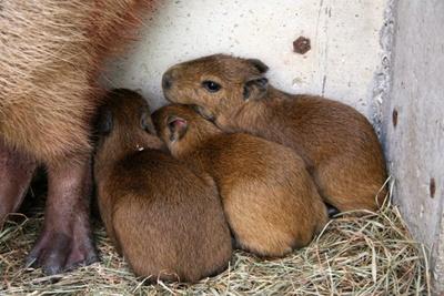 【画像を見る】母親の側にぴったりと寄り添うカピバラの赤ちゃんたち