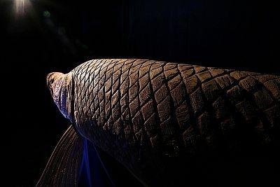 ピラルクー…おいしいんでしょうか?※ワシントン条約で保護中の生き物です